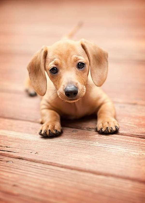 Cute and Amazing Dachshund Pictures (7)