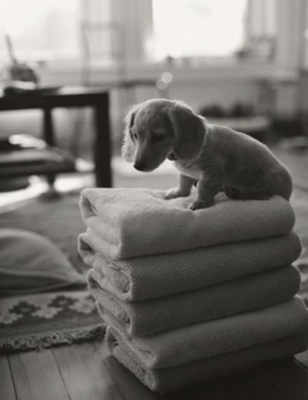 Cute and Amazing Dachshund Pictures (9)