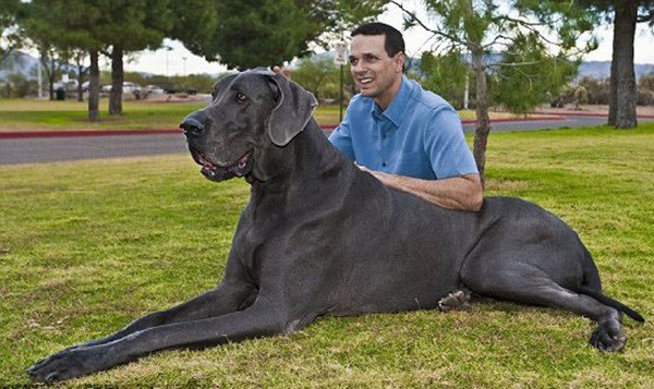 Useful Great Dane Caring Ideas 5