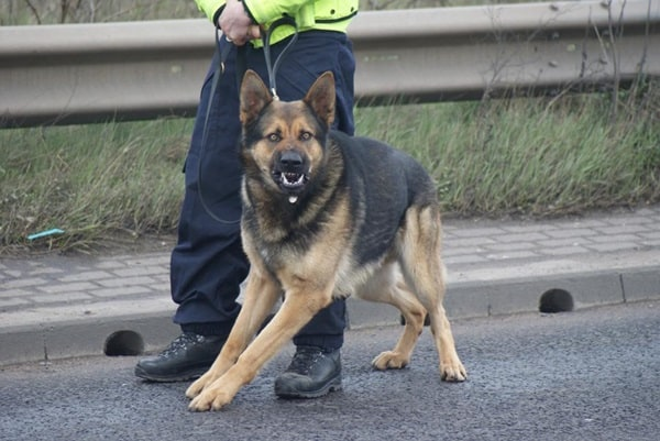 20 Cute and Intellegent Police Dog Moves Captured 4