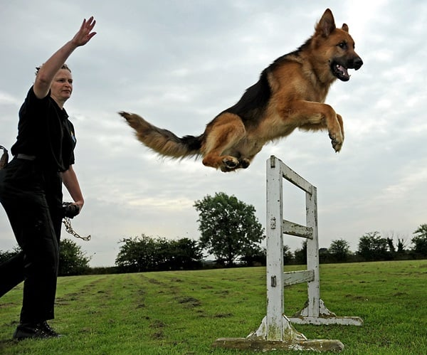 20 Cute and Intellegent Police Dog Moves Captured 5