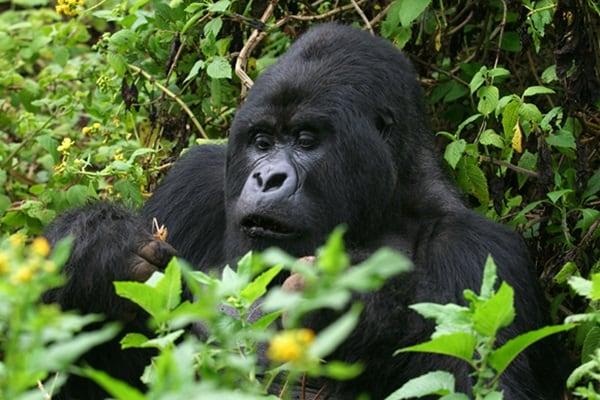 Berggorilla aus den Virunga Bergen in Ruanda