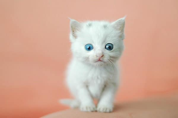 40 Insanely Adorable White Kittens to make your Day 1