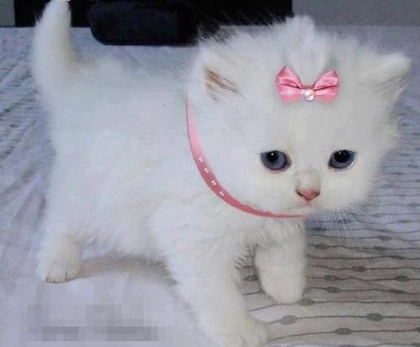 40 Insanely Adorable White Kittens to make your Day 10