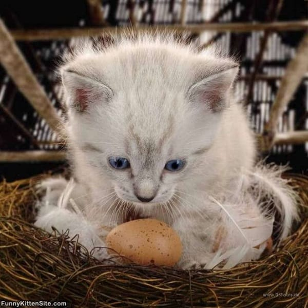40 Insanely Adorable White Kittens to make your Day 11