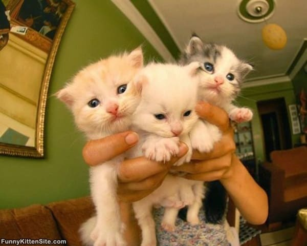 40 Insanely Adorable White Kittens to make your Day 16