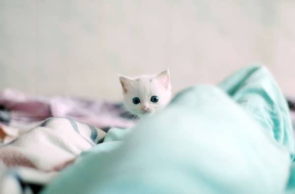 40 Insanely Adorable White Kittens to make your Day 18