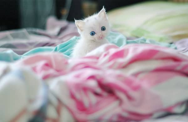 40 Insanely Adorable White Kittens to make your Day 19