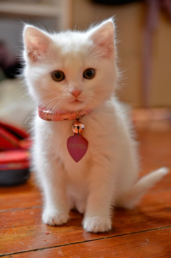 40 Insanely Adorable White Kittens to make your Day 2