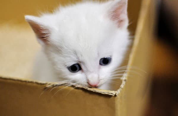 40 Insanely Adorable White Kittens to make your Day 20