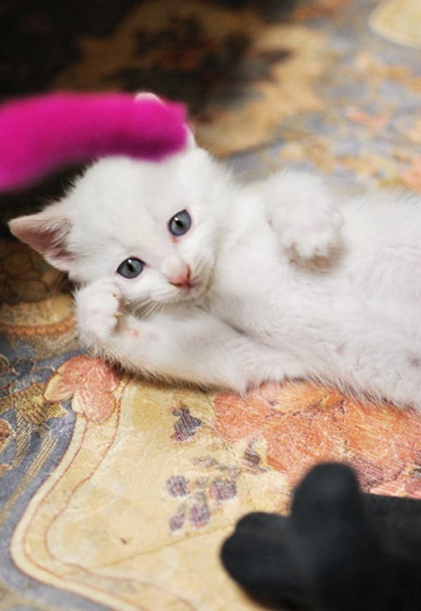 40 Insanely Adorable White Kittens to make your Day 21