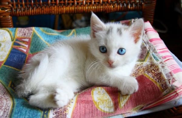 40 Insanely Adorable White Kittens to make your Day 27