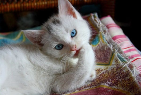 40 Insanely Adorable White Kittens to make your Day 28