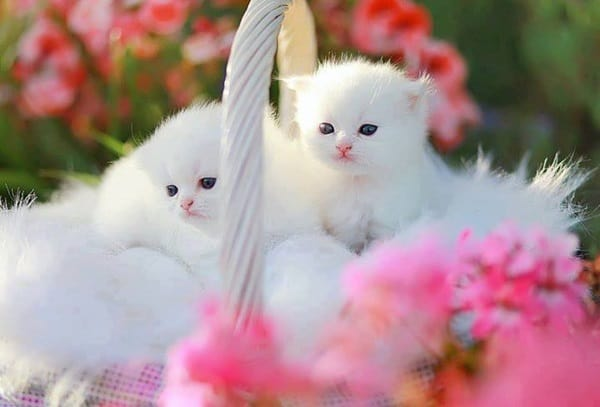 40 Insanely Adorable White Kittens to make your Day 3