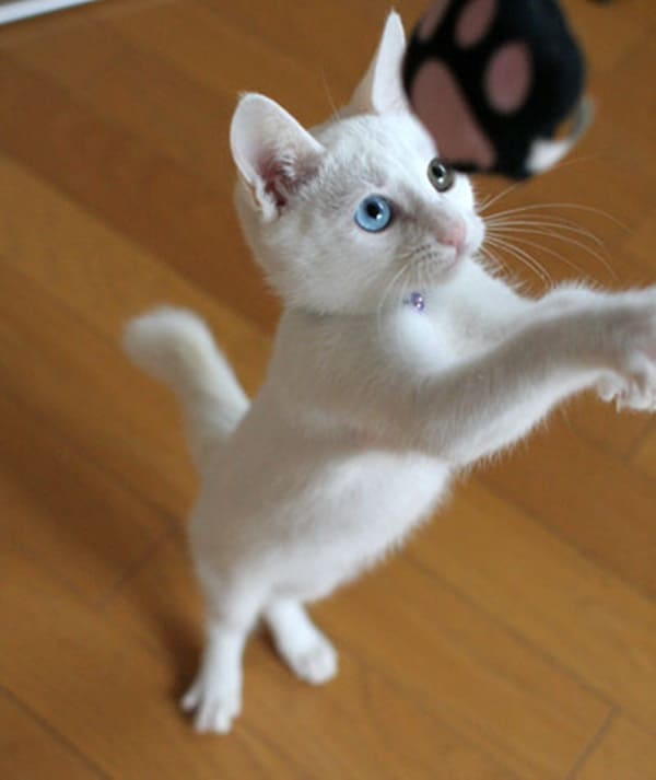 40 Insanely Adorable White Kittens to make your Day 32