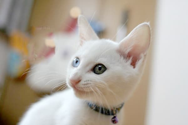 40 Insanely Adorable White Kittens to make your Day 33