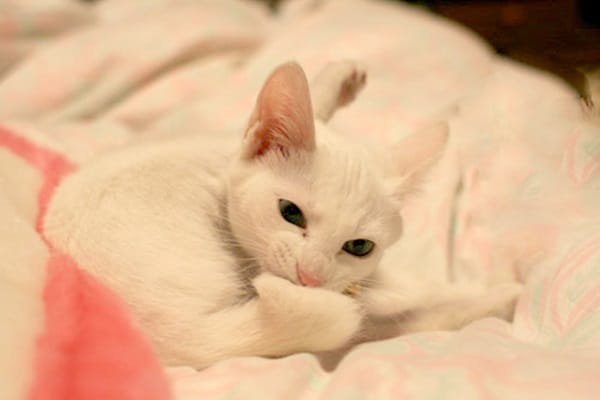 40 Insanely Adorable White Kittens to make your Day 37