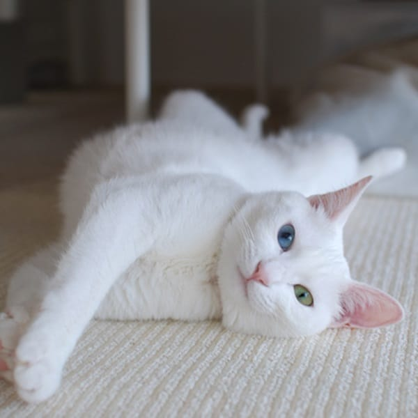 40 Insanely Adorable White Kittens to make your Day 39