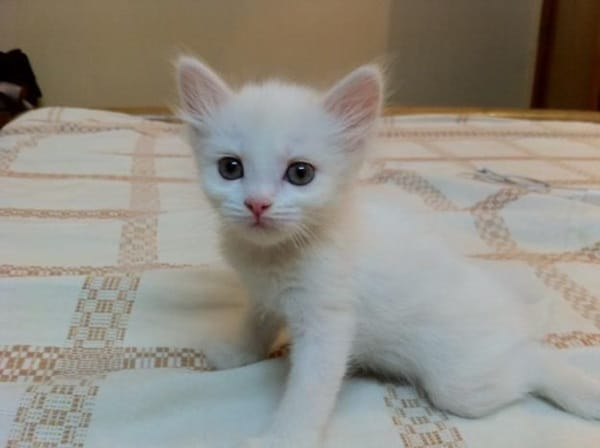 40 Insanely Adorable White Kittens to make your Day 4