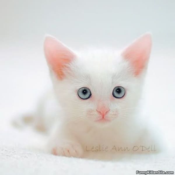 40 Insanely Adorable White Kittens to make your Day 5