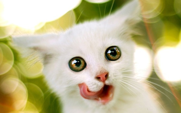 40 Insanely Adorable White Kittens to make your Day 8