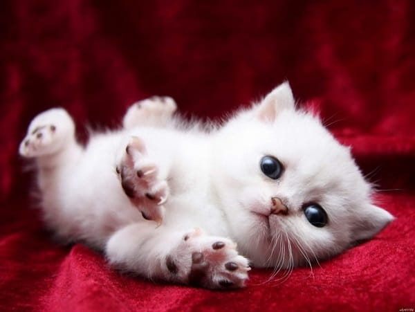 40 Insanely Adorable White Kittens to make your Day 9