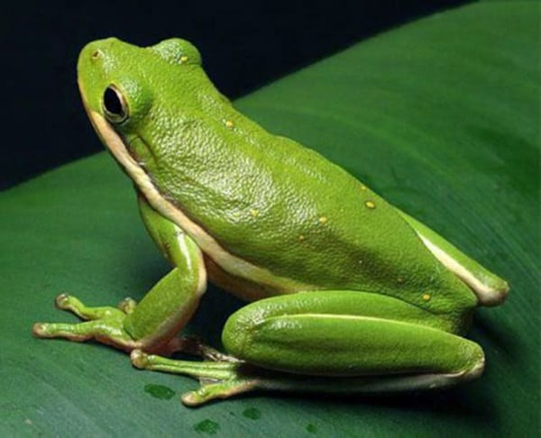 40 Really Amazing Tree Frog Pictures 13