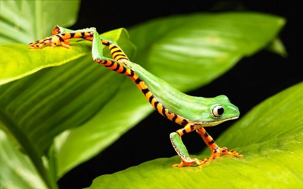 40 Really Amazing Tree Frog Pictures 21