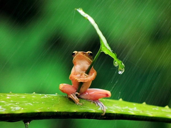 A tree frog clutches a leaf angled towards the rain for shelter in Jember, East Java