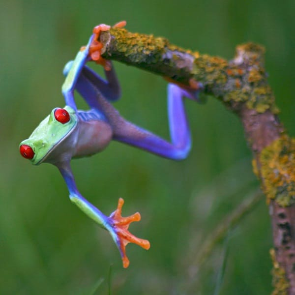40 Really Amazing Tree Frog Pictures 23