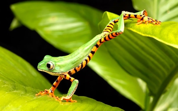 40 Really Amazing Tree Frog Pictures 25