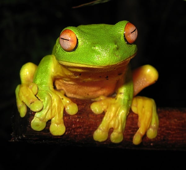 40 Really Amazing Tree Frog Pictures 30