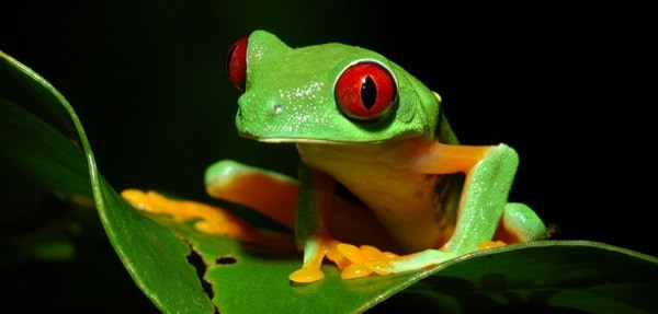 40 Really Amazing Tree Frog Pictures 32