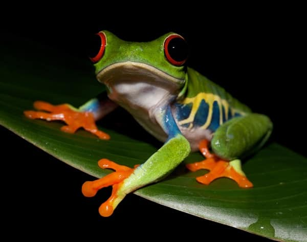 40 Really Amazing Tree Frog Pictures 4