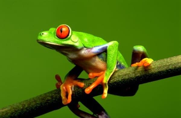 40 Really Amazing Tree Frog Pictures 5