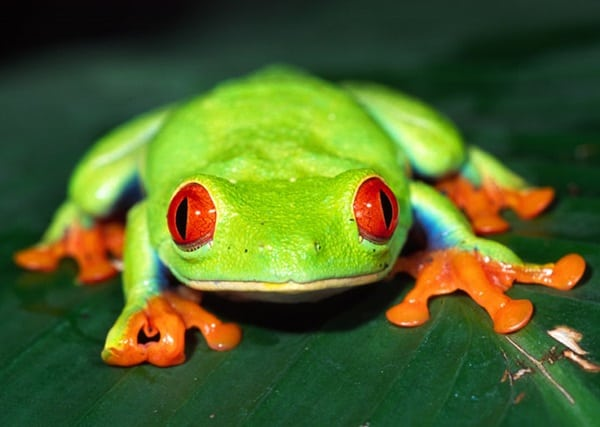 40 Really Amazing Tree Frog Pictures 6