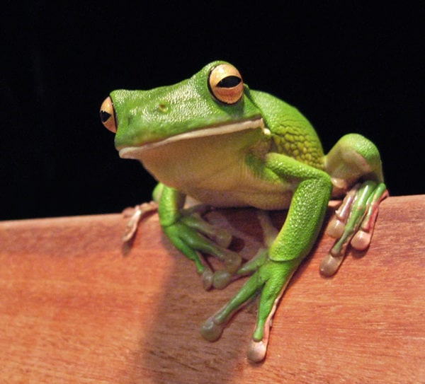 40 Really Amazing Tree Frog Pictures 7