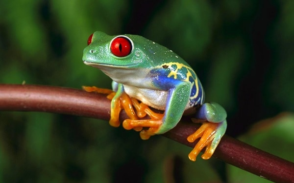 40 Really Amazing Tree Frog Pictures 8