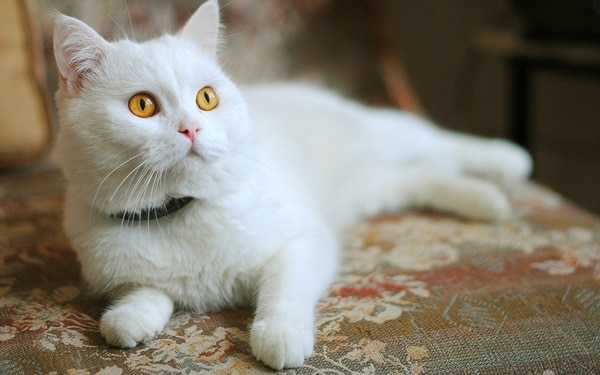 40 Unbelievable Beautiful Cats you Wish to Have 5