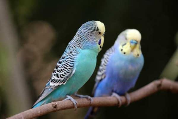 9 Pet Birds for Kids 6