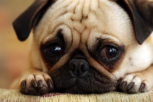 Causes of Sudden Death in Dogs 5