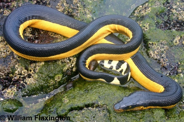 mazing Facts about Sea Snakes 4