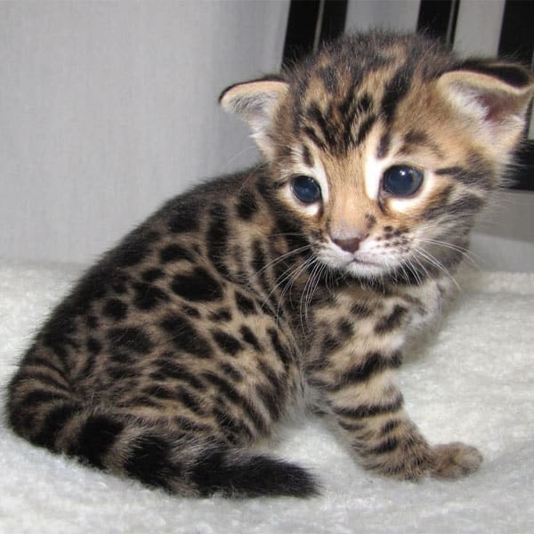 40 Impossibly Beautiful Pictures of Bengal Kittens 2
