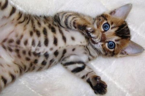 40 Impossibly Beautiful Pictures of Bengal Kittens 3
