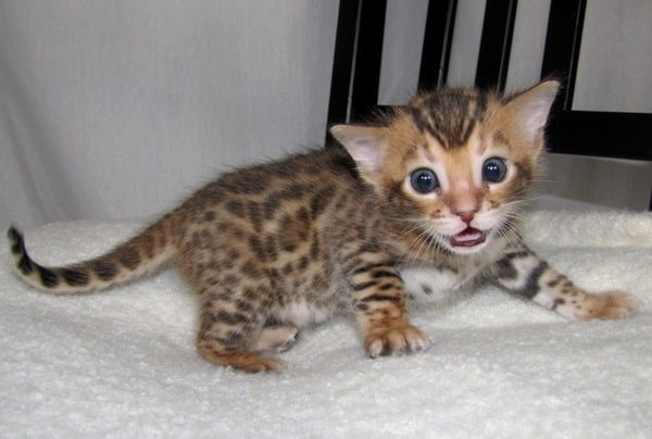 40 Impossibly Beautiful Pictures of Bengal Kittens 4