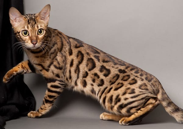 40 Impossibly Beautiful Pictures of Bengal Kittens 5