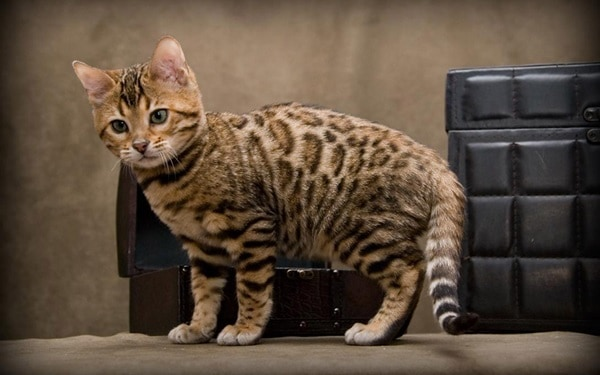 40 Impossibly Beautiful Pictures of Bengal Kittens 6