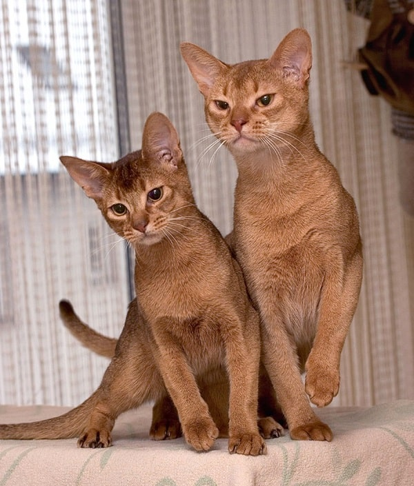 40 Super Cute Abyssinian Cats Pictures 1