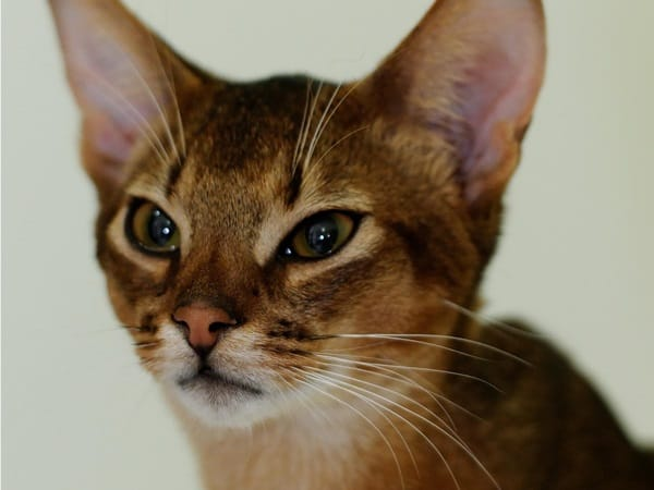 40 Super Cute Abyssinian Cats Pictures 4