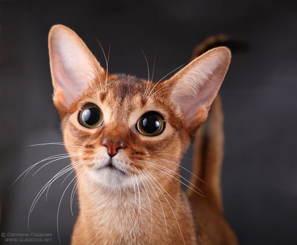 40 Super Cute Abyssinian Cats Pictures 5